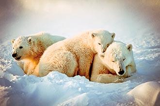 Photo of Polar Bears of Churchill